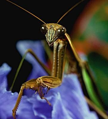 Praying Mantis  Closeup Portrait 3  On Iris Flower Print by Leslie Crotty