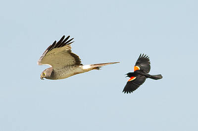Northern Harrier Photograph - Predator Chasing by Natural Focal Point Photography