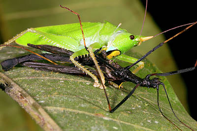 Predatory Katydid Eating A Stick Insect Print by Dr Morley Read