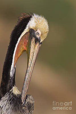 Preening Pelican Print by Bryan Keil