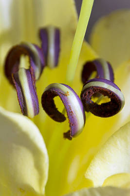 Pretty Anthers Within A Stargazer Lily Print by Dana Moyer