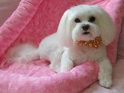 Maltese Dog Photograph - Pretty In Pink by Mary Beth Landis