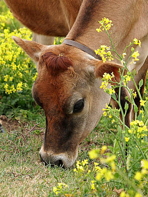Jersey Cow Photograph - Pretty Jersey Cow - Vertical by Gill Billington