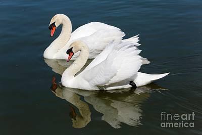 Pretty Swan Pair Print by Carol Groenen