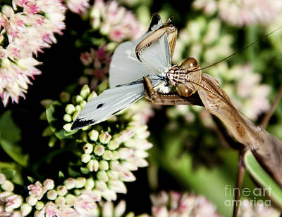 'preying' Mantis 6 Print by Lance Theroux
