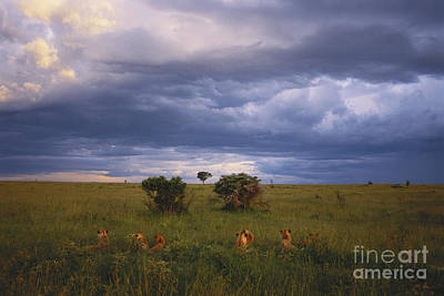 Pride Of Lions Print by Art Wolfe