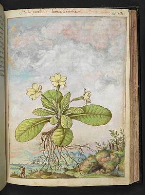 Primula Vulgaris Photograph - Primrose (primula Vulgaris) by British Library