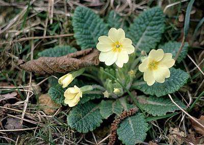 Primula Vulgaris Photograph - Primrose (primula Vulgaris) Flowers by Science Photo Library