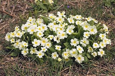 Primula Vulgaris Photograph - Primrose (primula Vulgaris) by Science Photo Library