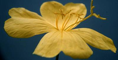 Primula Vulgaris Photograph - Primrose by Retro Images Archive