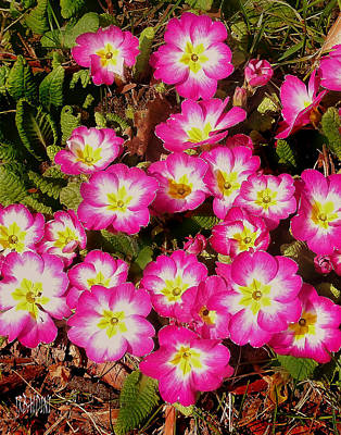 Photograph - Primroses by J R Baldini Master Photographer