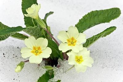 Primula Vulgaris Photograph - Primroses (primula Vulgaris) In Snow by Bob Gibbons