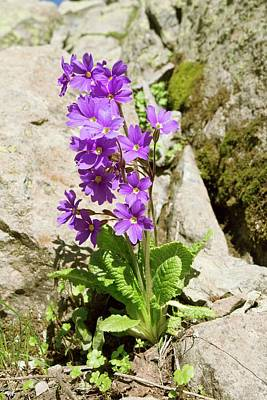 Primula Amoena In Flower Print by Bob Gibbons