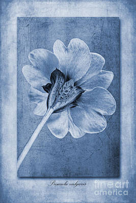 Macro Digital Art - Primula Vulgaris Cyanotype by John Edwards