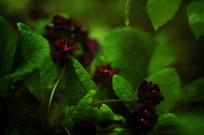 Primula Vulgaris Photograph - Primula Vulgaris by Rebecca Sherman