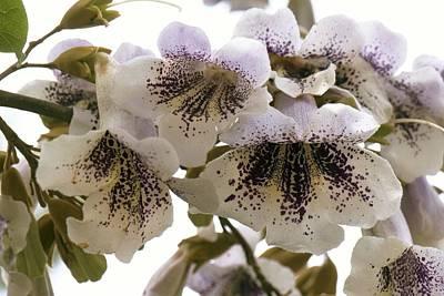 Foxglove Flowers Photograph - Princesstree (paulownia Tomentosa) by Adrian Thomas