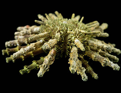 Marine One Photograph - Prionocidaris Verticillata by Natural History Museum, London