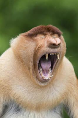 Proboscis Photograph - Proboscis Monkey Dominant Male Yawning by Suzi Eszterhas