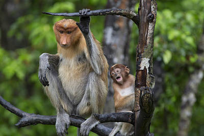Proboscis Photograph - Proboscis Monkey Mother And Three Month by Suzi Eszterhas