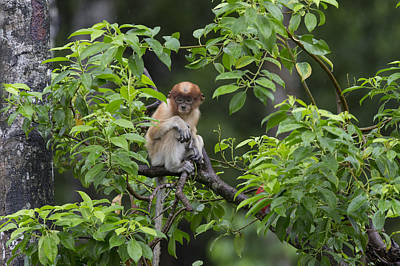 Photograph - Proboscis Monkey Three Month Old Baby by Suzi Eszterhas