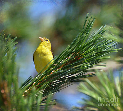 Goldfinch Photograph - Profile In The Pines by Kerri Farley