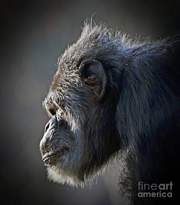 Face Photograph - Profile Portrait Of An Elderly Chimp by Jim Fitzpatrick