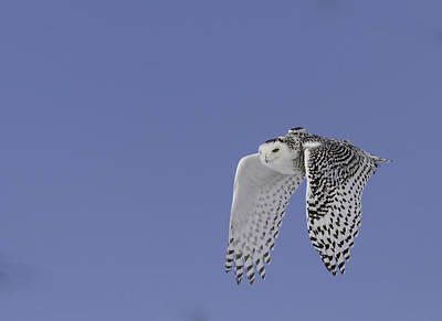 Owl In Flight Photograph - Project Snowstorm 1 by Thomas Young