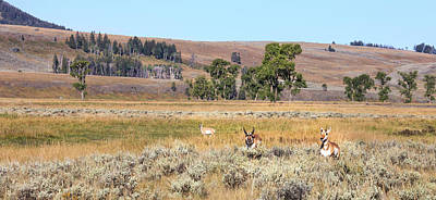 Pronghorn Photograph - Prong Horn Antelopes by Tom Norring