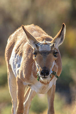 Pronghorn Photograph - Pronghorn Yellowstone National Park by Tom Norring
