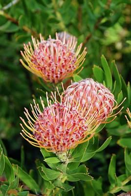 Pincushion Photograph - Protea (leucospermum Cordifolium) by Adrian Thomas