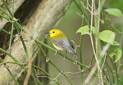 Warbler Photograph - Prothonotary Warbler by Sandy Keeton