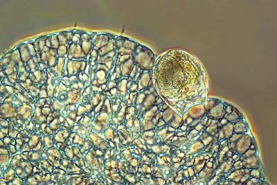 Protozoan Ingesting Rotifer Print by Marek Mis
