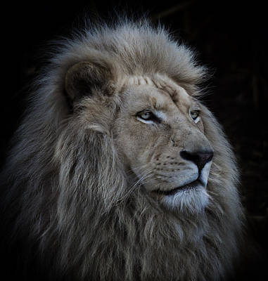 Mane Photograph - Proud Lion by Louise Wolbers