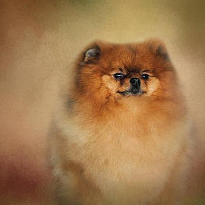 Pomeranian Photograph - Proud Pomeranian by Jai Johnson