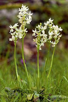Monocot Photograph - Provence Orchids (orchis Provincialis) by Bob Gibbons