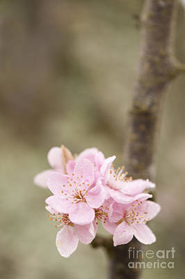Prunus Cerasifera Lindsayae Print by Anne Gilbert