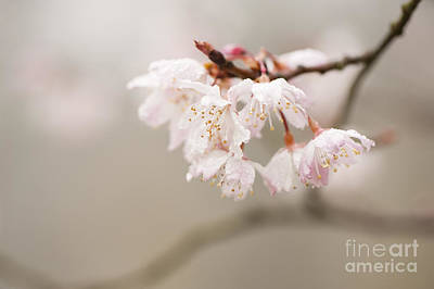 Prunus Hirtipes Print by Anne Gilbert
