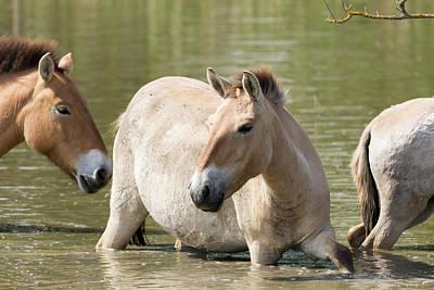 Przewalskis Horses Or Takhi (equus Print by Martin Zwick