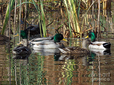 Of Birds Photograph - Puddle Ducks by Skip Willits