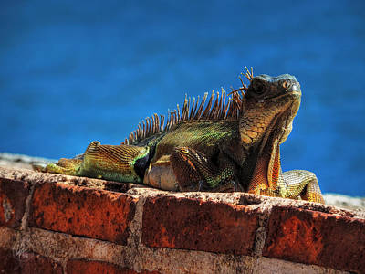 Puerto Rico Iguana 001 Print by Lance Vaughn
