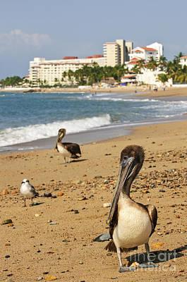 Puerto Vallarta Photograph - Puerto Vallarta Pelicans by Elena Elisseeva