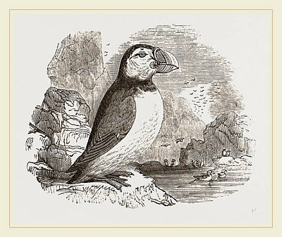 Puffin Drawing - Puffin by Litz Collection