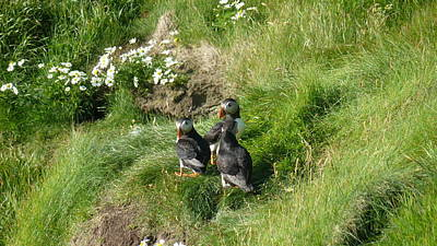Photograph - Puffin Meeting by George Leask