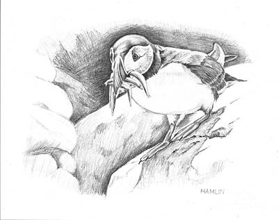 Puffin Drawing - Puffin by Steve Hamlin