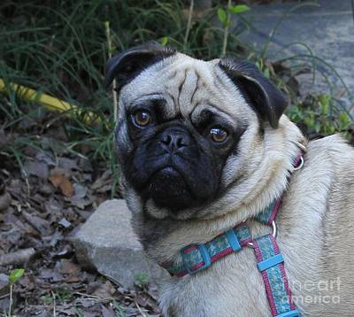 Dog Photograph - Pug Pup Harley 4 by Cathy Lindsey