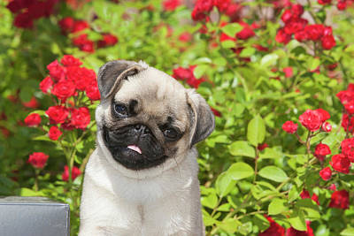 Pug Puppy In Red Roses Print by Piperanne Worcester