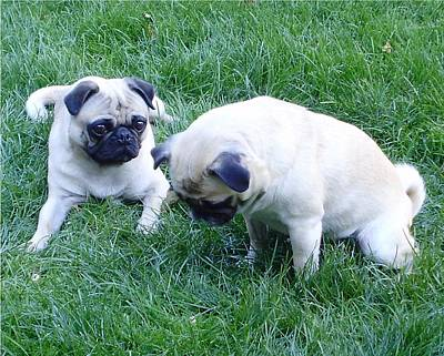Pugs Finding Cheerios In The Grass Print by Tina Moreau
