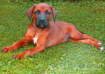 Boxer Digital Art - Puppy Love by Jo Collins