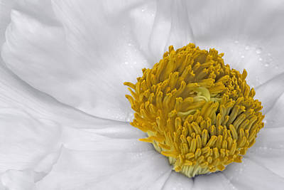 Botany Photograph - Pure And A Heart Of Gold by Susan Candelario