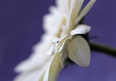 White Daisy Photograph - Pure Bliss by Krissy Katsimbras